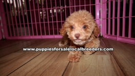 Adorable Poodle Puppies For Sale Georgia Near Atlanta