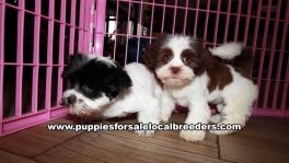 Cute Shih Poo Puppies For Sale Georgia Near Atlanta