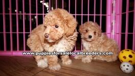 Cute Poodle Puppies For Sale Georgia Near Atlanta