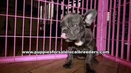 Cute French Bulldog Puppies For Sale Georgia Near Atlanta
